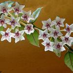 Porzelanblume oder Wachsblume