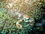 Porzellan-Krabbe