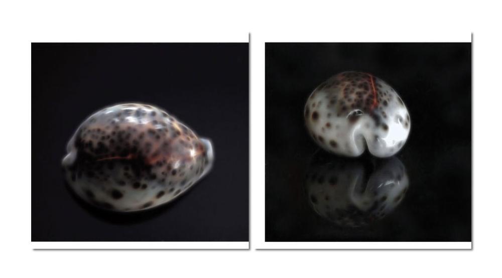 Porzellan- oder Kaurischnecke