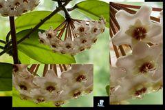 Porzellanblumenblüten