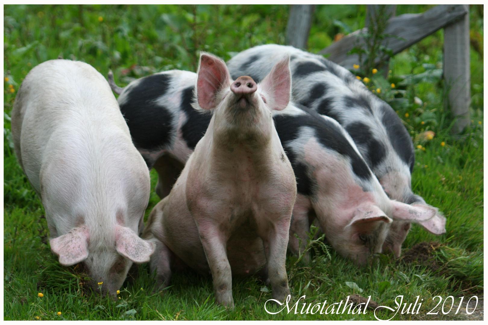 posing pig