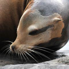 Posing: Portrait eines Seelöwen