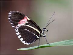 Postbote (Heliconius melpomene cythera)
