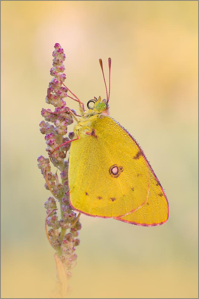 Postillon (Colias crocea)