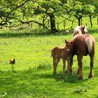 Poulain comtois et sa mère
