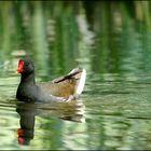 Poule d'eau (Common Moorhen)