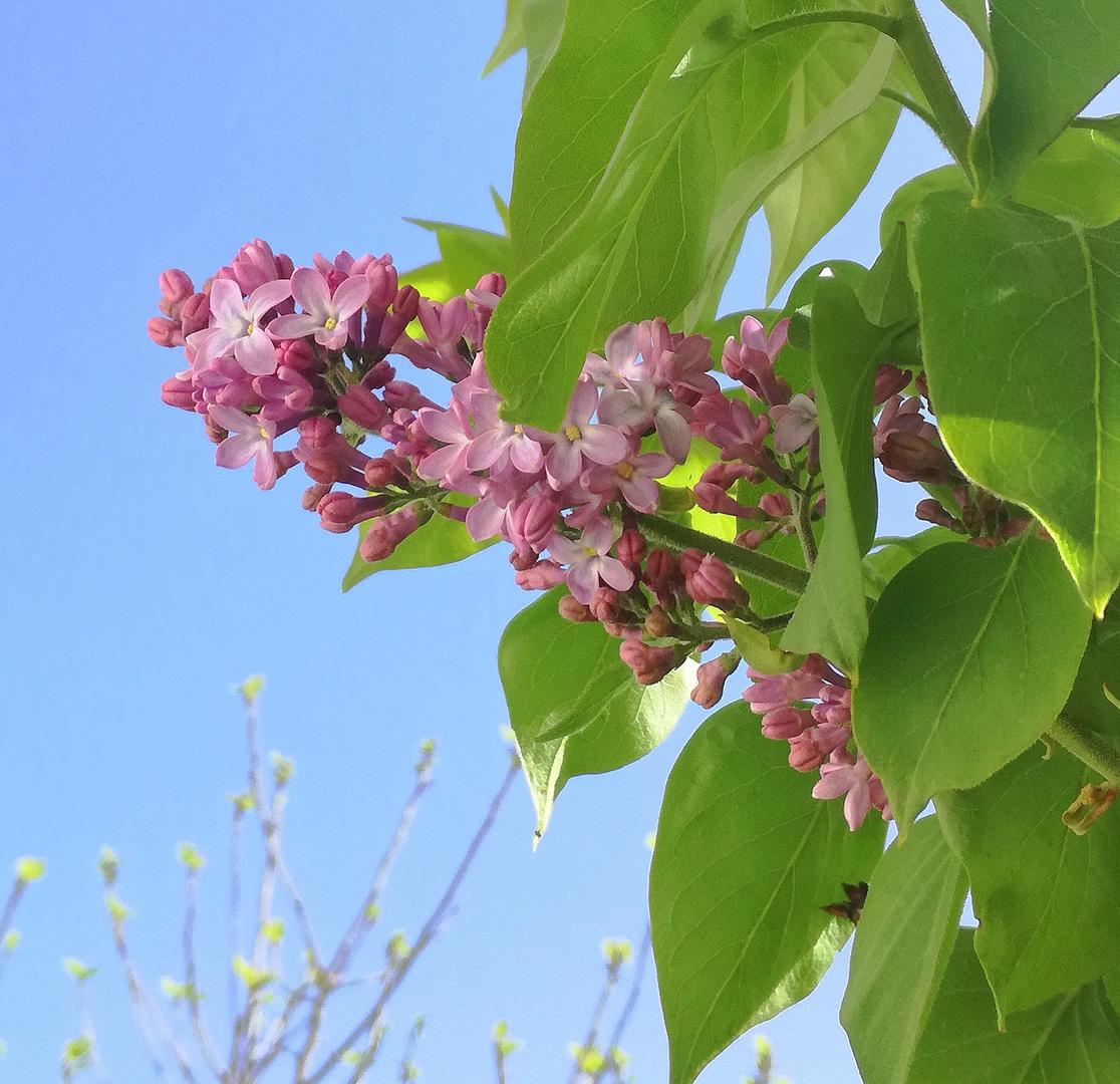 Pour vous, ma première fleur de lilas ...