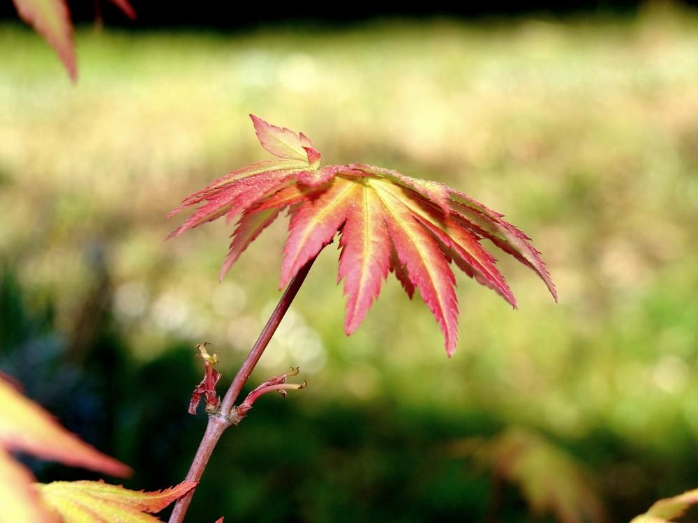 pousse naissante de buisson japonais
