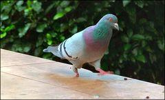 Povero colombo senza piede