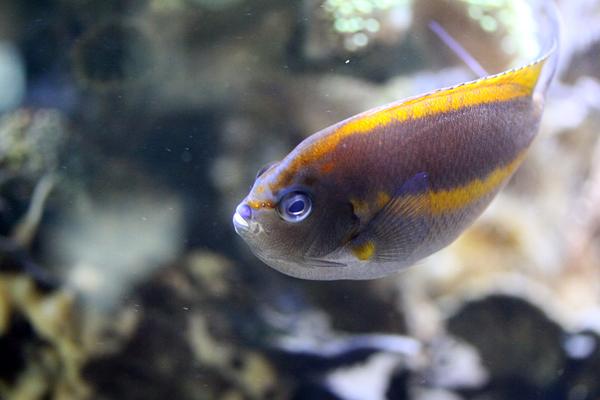 Pracht Lyrakaiserfisch - Weiblich