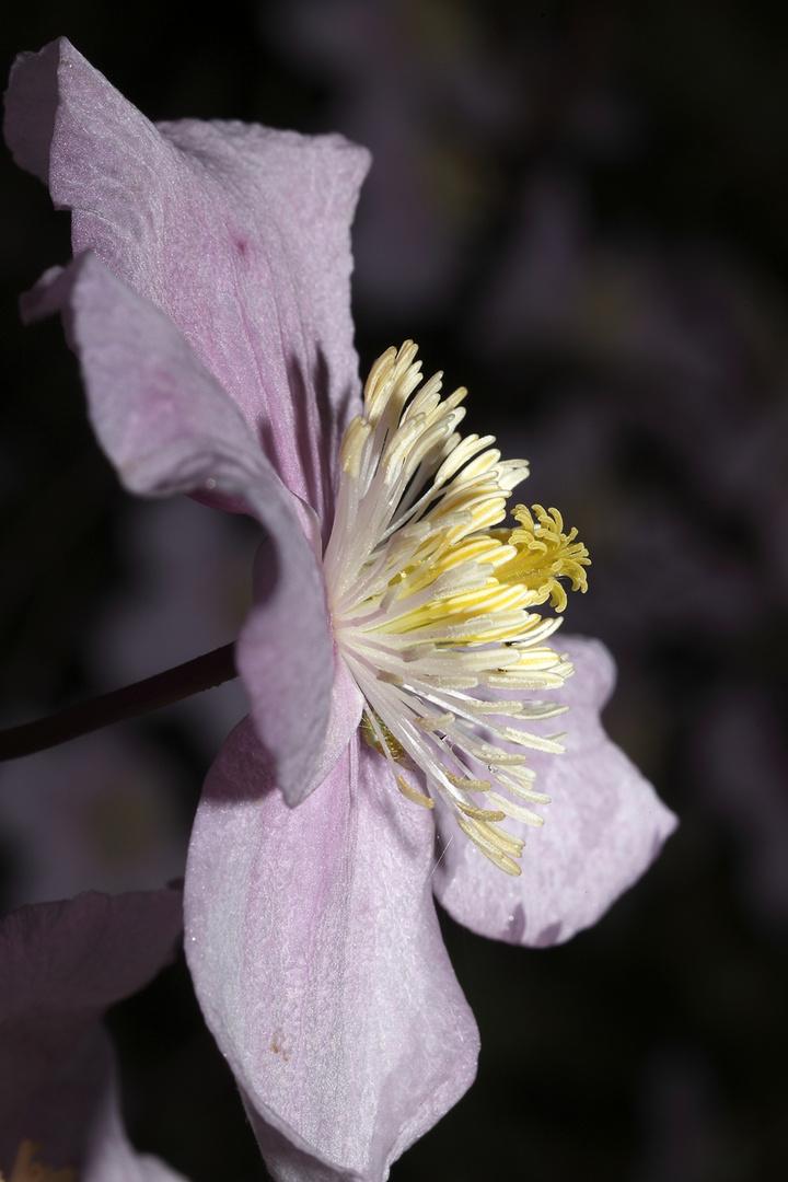 Prachtblüte