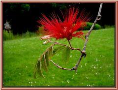 Prachtblüte - Fabaceae....