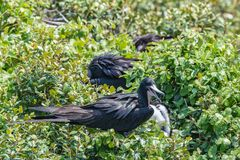 Prachtfregattvogel am Nest