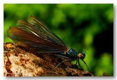 Prachtlibelle – Calopterygidae