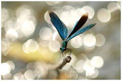 Prachtlibelle und pures Licht