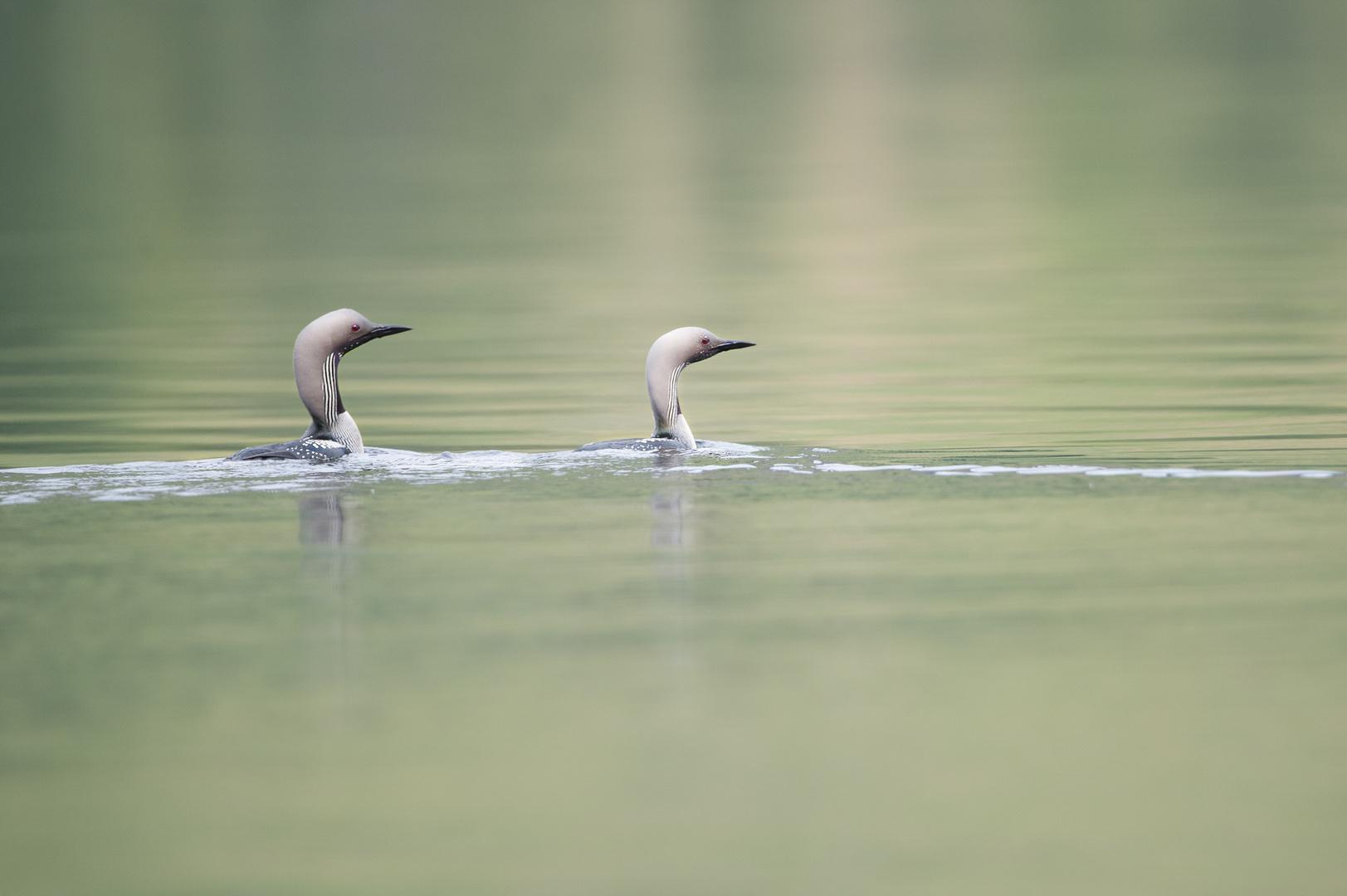 Prachttaucher Paar (black-throated diver)