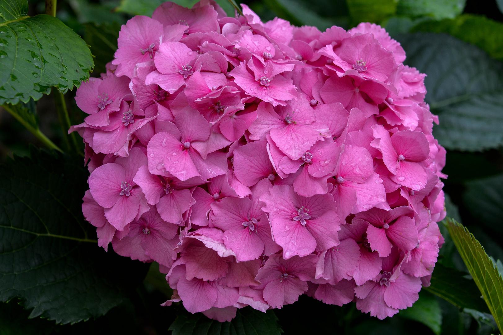 prachtvolle Hortensien