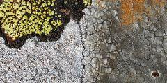 Prächtige Flechten-Wohngemeinschaft! - Ces lichens cohabitent sur un rocher à la montagne...
