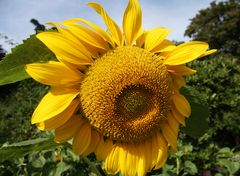 Prächtige, gelbe Sonnenblume