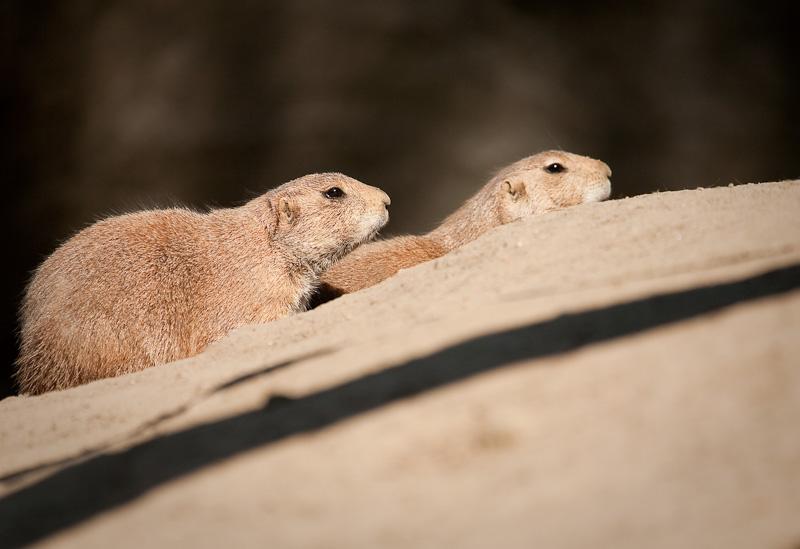 Präriehunde - Hagenbecks Tierpark