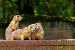 Präriehunde im Zoo Hannover