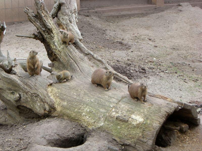 Prärihund