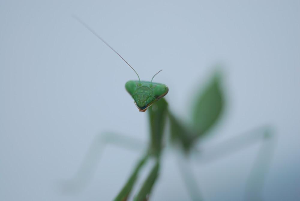 Pray to the Mantis