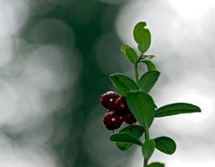 Preiselbeeren im November! -  Vaccinium vitis-idaea  -  Airelles rouges  -  Cowberries