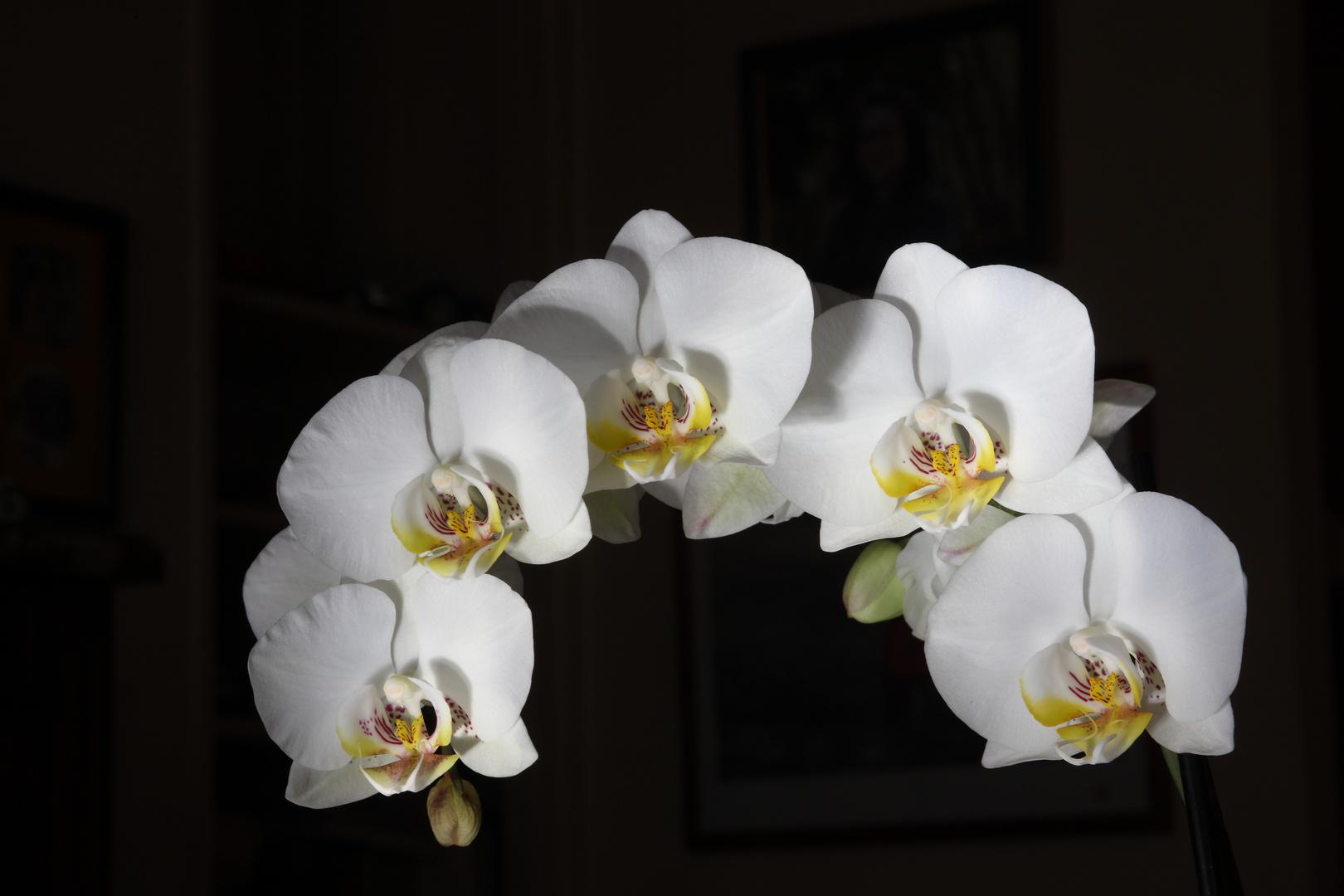 Premier essai pour immortaliser mon orchidée