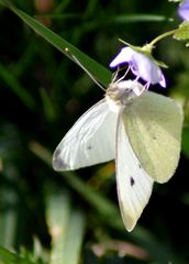 premier papillon ....