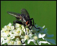 Premiere Brummer ( mein 1.Macro von Insekten )