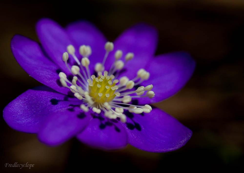 première fleur de montagne