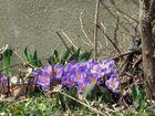 Premières fleures du printemps