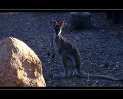 Pretty-faced Wallaby