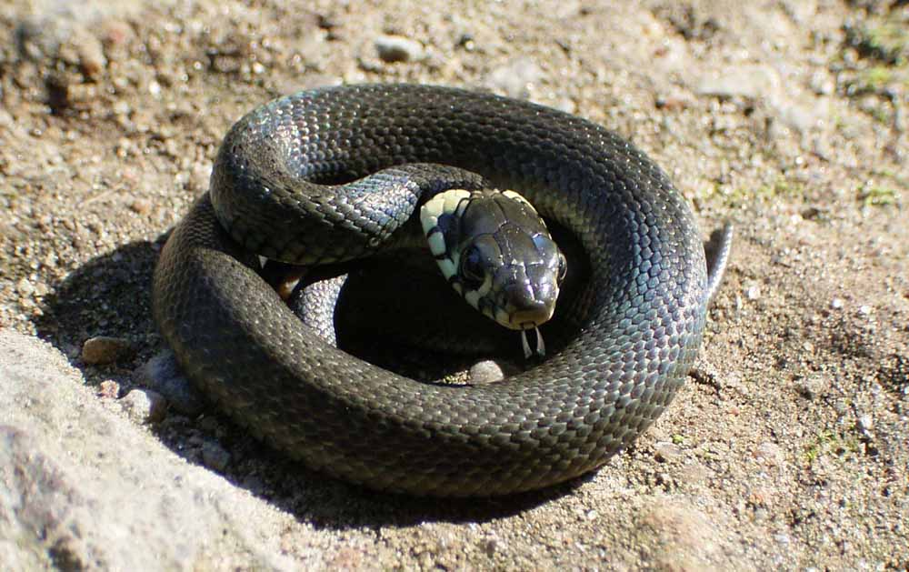 pretty grass snake