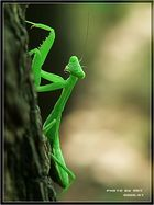 pretty mantis