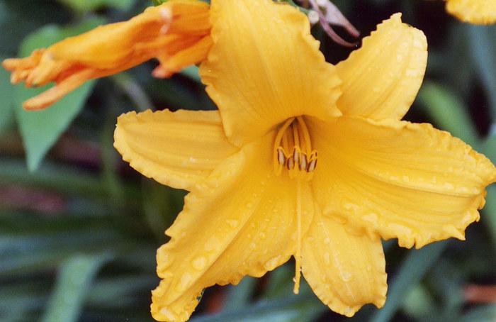 pretty orange lily after a rain storm