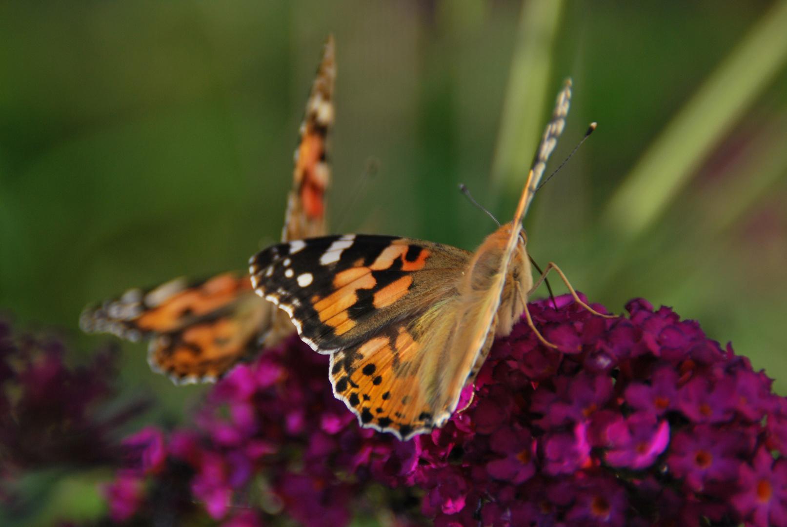 pretty pretty butterflies