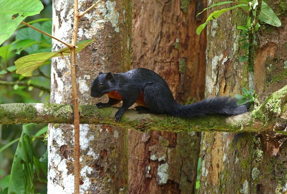 Prevost-Hörnchen