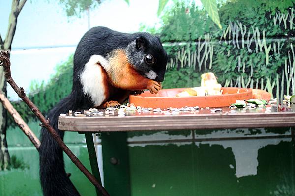 Prevost Schönhörnchen