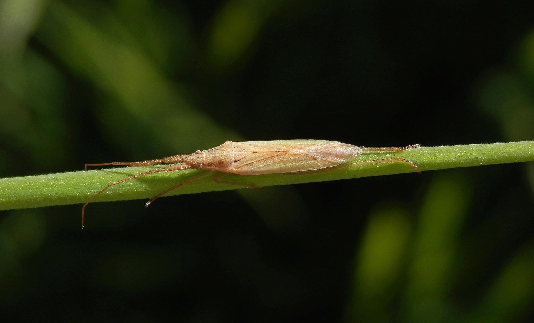 Prima getarnt - Grasweichwanze (Stenodema laevigatum) auf Weichgras
