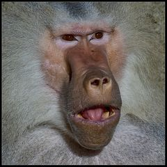 prima primat