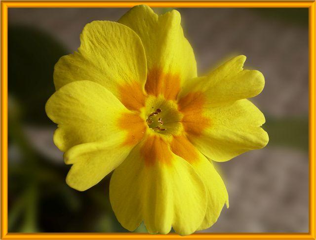 Primelblüte (schon wieder gelb)