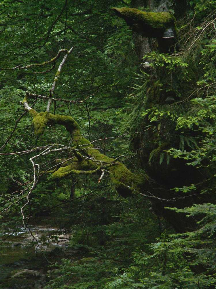 Primeval forest of Sumik (Pohorje) Slovenia