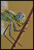 Primo piano libellula