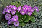 Primula hirsuta - Behaarte Schlüsselblume oder Rote Felsenprimel