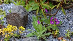 "Primula hirsuta, die Rote Felsenprimel auf dem ""saueren Beet""..."