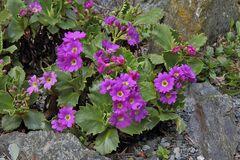 Primula hirsuta - Rote Felsenprimel oder Behaarte Schlüsselblume
