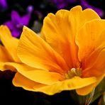 > Primula polyantha <