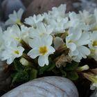 Primula vulgaris 1